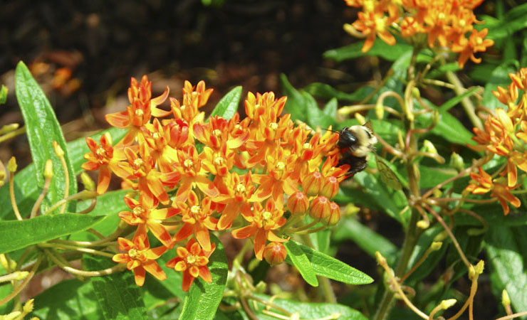 Bumble bee on Butterfly Weed